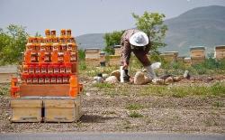 دانلود پاورپوینت زنبور داری و پرورش زنبور عسل