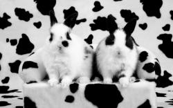 خرگوش خالخالی و هدیه عروسی
